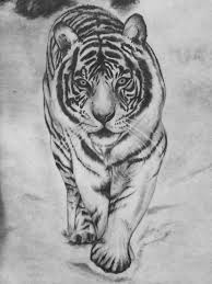 drawn white tiger basic pencil and in color drawn white tiger basic