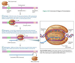 protein synthesis translation biol 141