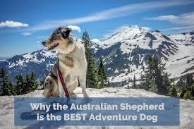 australian shepherd off leash why the australian shepherd is the best adventure dog long haul