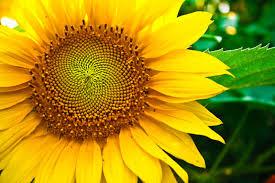 foto wallpaper bunga matahari info lengkap mengenai bunga matahari selingkaran com