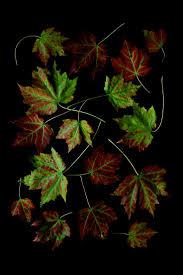 wheel shaped flower buds of stenocarpus sinuatus queensland 352 best twigs u0026 leaves u0026 seeds images on pinterest seeds seed