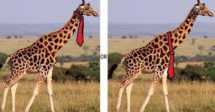 internet has heated debate over how a giraffe should wear a tie