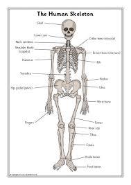 skeleton bones and internal organs teaching resources