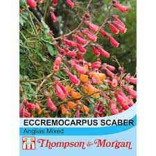 eccremocarpus scaber u0027anglia hybrids mixed u0027 seeds thompson u0026 morgan