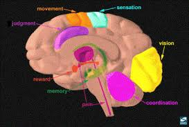 Part Of The Brain Stem That Is Involved In Arousal Neuroanatomy And Physiology Of Brain Reward Ii