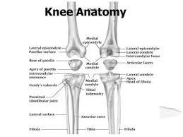Interactive Knee Anatomy Anatomy Biomechanics U0026 Kinematics Of The Knee Ppt Video Online