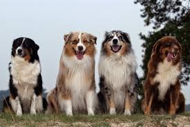 australian shepherd x border collie border collie crazy 6 breeds that look like border collies