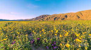 Anza Borrego Wildflowers Super Bloom by Super Bloom Time Lapse Youtube
