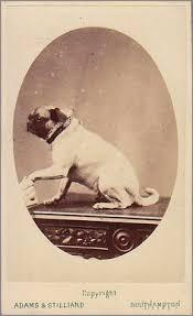 bichon frise z hter hessen vintage doggy vintage pug old dog iv pinterest vintage