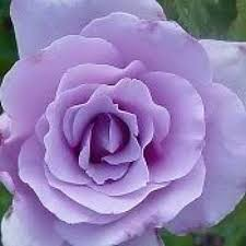 lavender roses lavender roses blue lilac or light purple bushes