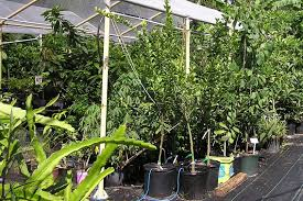 this fruit nursery hides in a brandon backyard tbo com