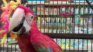 meet pet shop pirate parrot rio youtube