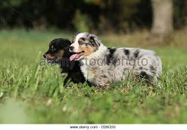 t r australian shepherds australian shepherd puppies black tri blue merle stock photos