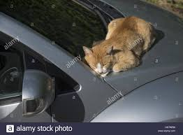 a ginger cat asleep on a windscreen wiper between the car bonnet
