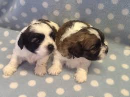 bichon frise and a shih tzu shih tzu bichon frise dogs and puppies rehome buy and sell in