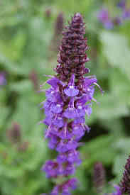 salvia flower perennial woodland landscape architect s pages
