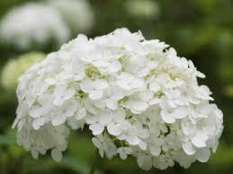 hydrangea white hydrangeas for cold climates growing hydrangeas in zone 4 gardens