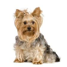 female yorkie haircuts styles 44 best yorkie haircuts images on pinterest pets fluffy pets