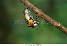 butterfly coming out of cocoon stock photos butterfly coming out