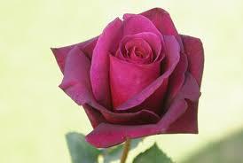 burgundy roses majestic burgundy ludwig s rosesludwigs roses