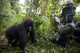 gorilla in the congo 100 photographs the most influential