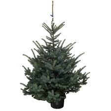 blue spruce 2 3ft 80 100cm real potted tree