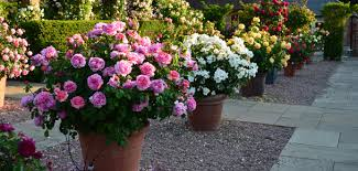 roses for growing in pots and containers david austin roses