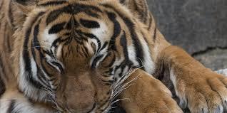 drei köche berlin drei männer festgenommen tote tiger in restaurant entdeckt köche