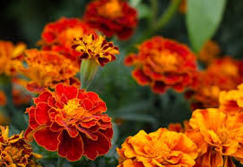 how to grow marigolds planet natural
