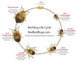 How Often Do Bed Bugs Reproduce Bed Bug Life Cycle Easy To Understand Growth Chart