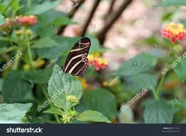 zebra butterfly wings closed on leaf stock photo 3311107
