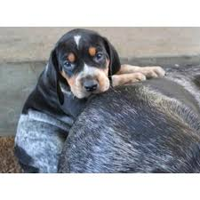 bluetick coonhound reviews 17 best images about this and that on pinterest puppys bluetick