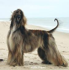 afghan hound breeders europe regimes picasso of keystone ahi afghan hound pedigree database