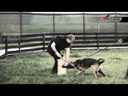 belgian malinois 101 youtube belgian canine training videos