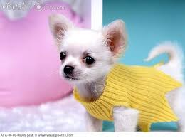 51 best chihuahuas with sweaters images on chihuahuas
