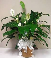 peace lilly peace with cut flowers spathiphyllum