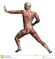 Human Anatomy Muscle Human Anatomy Male Muscles Royalty Free Stock Images Image