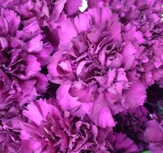 purple carnations carnations sunglow flowers