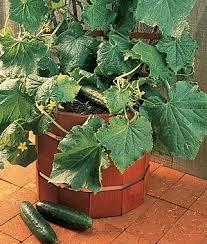 salad bush hybrid cucumber seeds and plants vegetable gardening