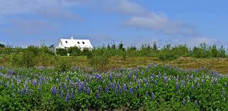 Bluebonnet Flowers - how to grow texas bluebonnet
