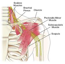 Muscle Anatomy Of Shoulder Anatomy Archives The Handcare Blog