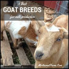 dairy goat breeds 5 best goat breeds for milk production