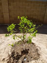 Transplant Fruit Trees - how to transplant a lemon tree plantinfo everything and