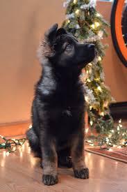 belgian shepherd for sale in malaysia best 25 german dogs ideas on pinterest german dog breeds