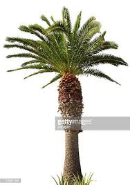 coconut palm tree stock photos and pictures getty images