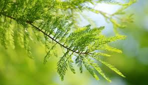 green plants bald cypress flowers and plants conservatories