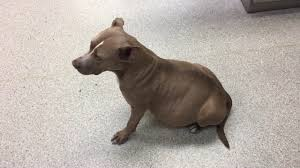 american pitbull terrier breeders st louis a dog with heartworms stray rescue of st louis youtube