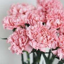 Wholesale Fresh Flowers Hongri Wholesale Fresh Flowers Pink Carnation From China Flower