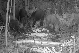 New York Wildlife images Feral pigs plaguing upstate new york the new york times jpg