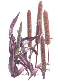 ornamental millet purple majesty seeds botanical interests high